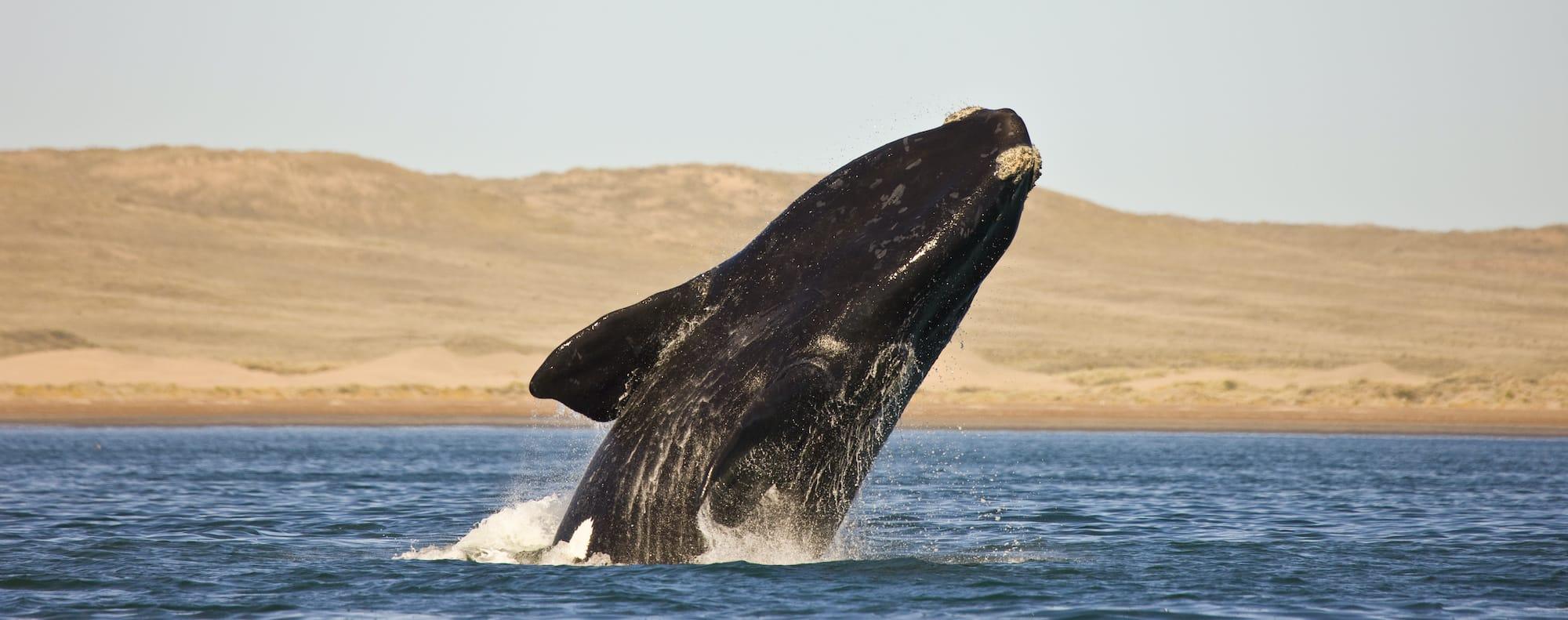Whale watching Patagonia Argentina Puerto Madryn Peninsula Valdés